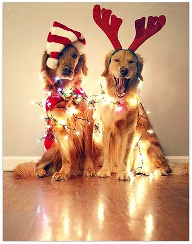 12.25.14 - Dogs Who Are SO Over Christmas3