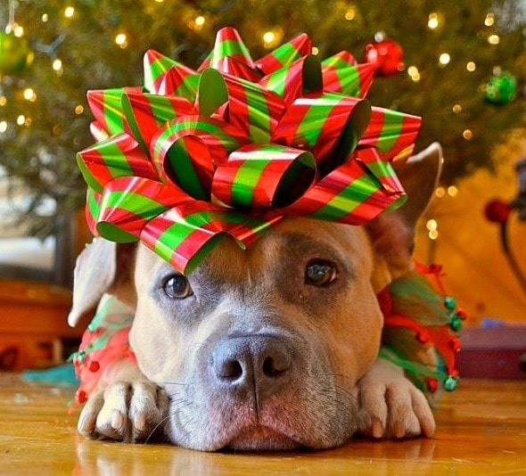 12.25.14 - Dogs Who Are SO Over Christmas4