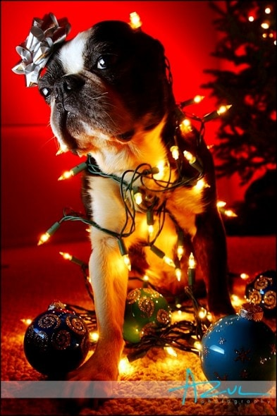 12.25.14 - Dogs Who Are SO Over Christmas5