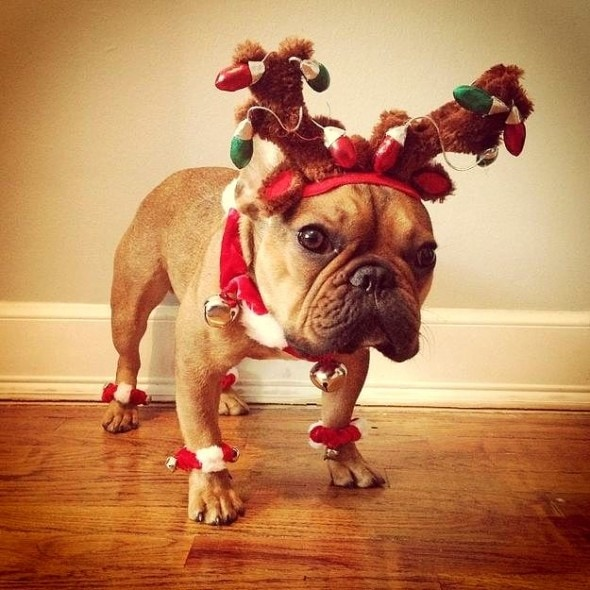 12.25.14 - Dogs Who Are SO Over Christmas6