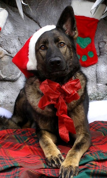 12.25.14 - Dogs Who Are SO Over Christmas7