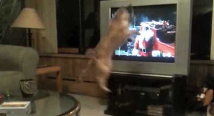 Excited Dog Leaps for Santa