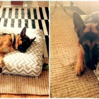 German Shepherd Who Chewed Off Back Foot Now Happily Adopted