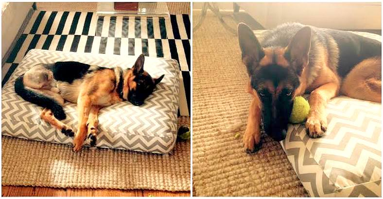 German Shepherd Who Chewed Off Back Foot Now Hily Adopted Life