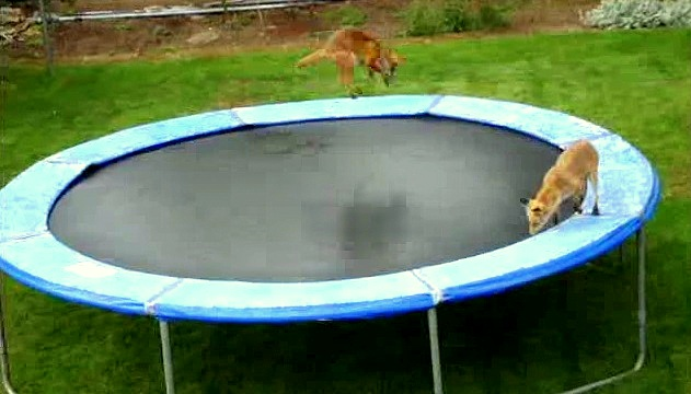 Silly Foxes Who Love Jumping on Trampolines