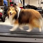 Sheltie Cheats on Treadmill Run