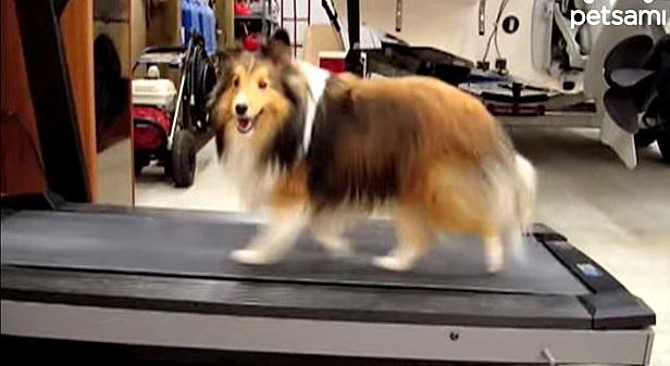 Sheltie Cheats on Treadmill Run