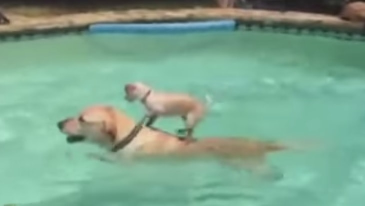 Puppy Gets A Surfing Lesson From Older Friend