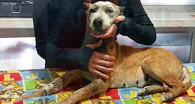 Pregnant Mexican Dog Rescued After Mouth Exploded by Firework