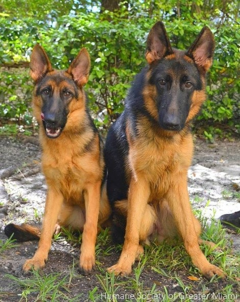 12.8.14 - German Shepherd Refuses to Leave Mate Tied to Fence1