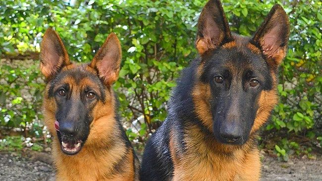 German Shepherd Refuses to Leave Mate Tied to Fence