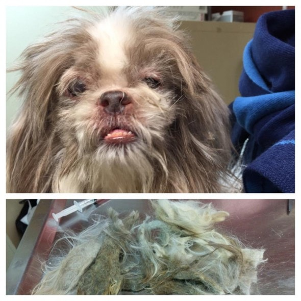 Mistletoe after the matted hair from his face was removed. Photo Credit: Great Plain SPCA