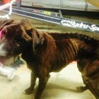 Starving Dog Wanders into Garage and Finds Rescue