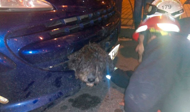 Getting Stuck in Car's Bumper Saves Dog's Life