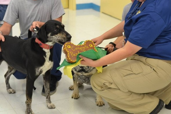 Panda receiving a well deserved treat at graduation. Photo Credit: Rescue 2 Restore.