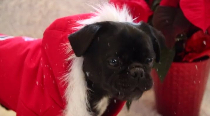 Twelve Days of Christmas- Dog Edition!