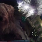 Dog Wants to Open Gift before Christmas