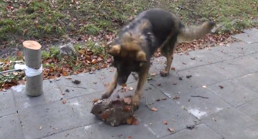 Dog Plays with Large Stone