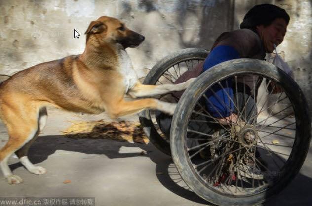 Untrained Service Dog Helps Handicap Owner Get to Work