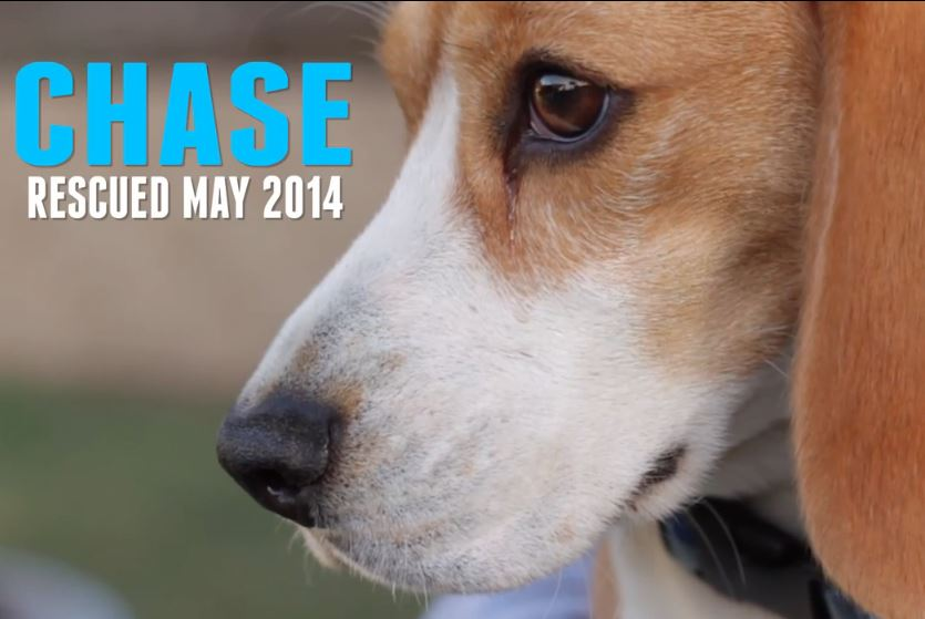 Beagle Freedom Project – A year in rescue, 2014 a look back