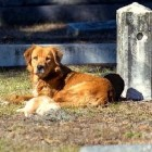 Mama Dog Refuses to Leave Cemetery Where She Buried Her Puppy