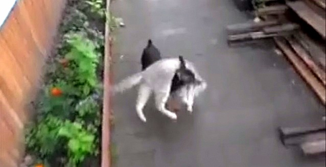 Little Dog Carries Cat Home
