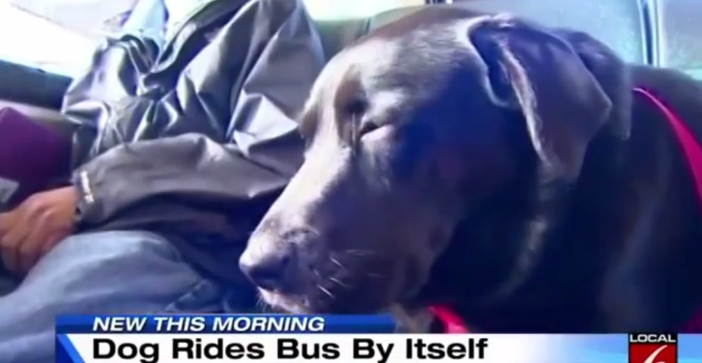 Dog in Seattle Learns to Take Bus Alone