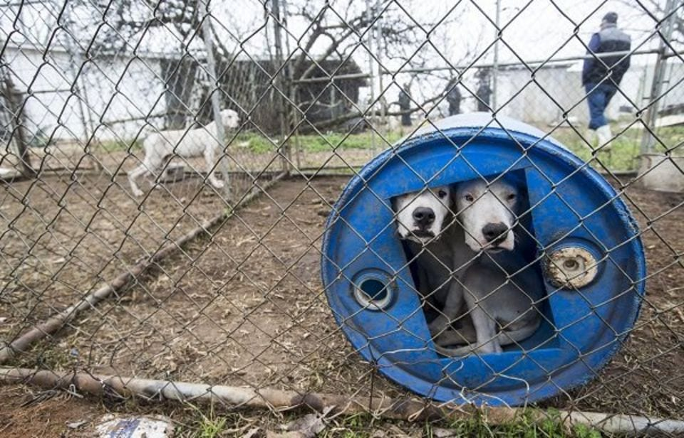 Fighting Breeder Busted in Alabama, 60 Dogs Rescued