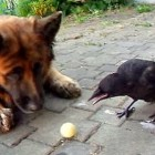 German Shepherd and Crow Play Ball
