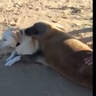 Dog Makes Unusual Friend during Walk on the Beach