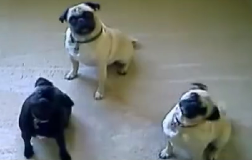Big Laughs from Little Pugs