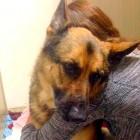 Unwanted, Rescued German Shepherd Is a Miracle Survivor
