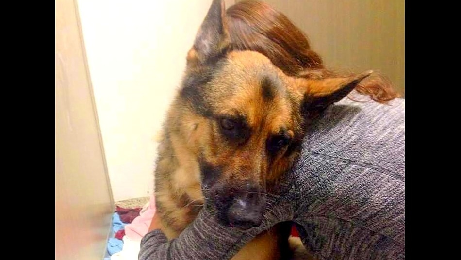 Unwanted, Rescued German Shepherd Is a Miracle Survivor