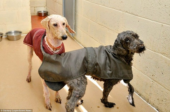 1.23.15 - The Transformation of These Neglected Dogs Will Shock You2