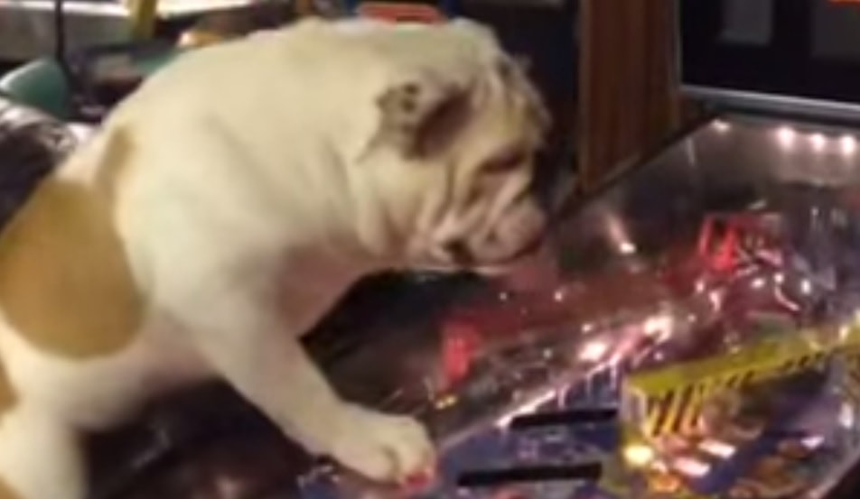 A Pinball Machine for a Bulldog