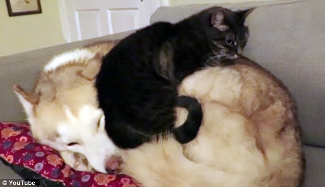 Cat Prefers Sleeping on Husky Friend