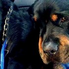 Crying Rottweiler Mourns His Dead Twin Brother