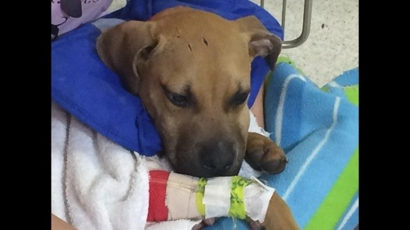 1.3.15 - Rescue Group Saves the Life of Dog Used as Bait for Fighting1