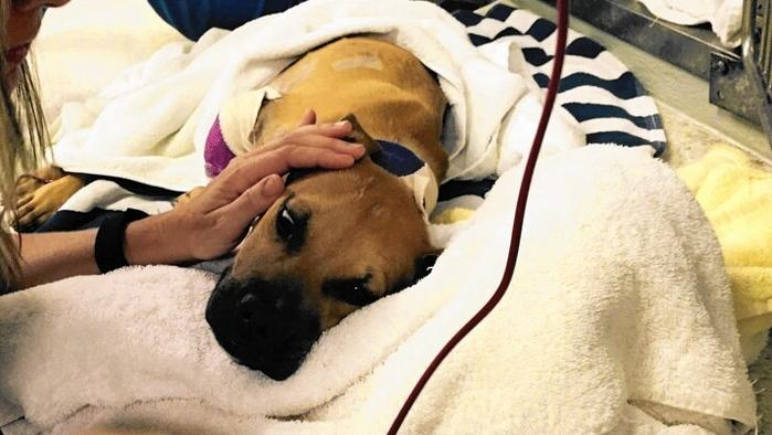 UPDATE: Rescued Bait Dog gets $10K for Medical Bills