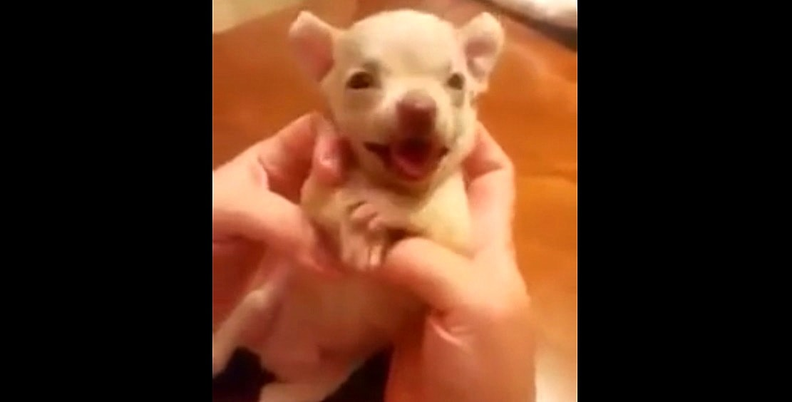 Tiny Puppy LOVES Being Tickled