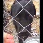 Black Lab Rescued After Six Years at Outdoor Kennel in New York