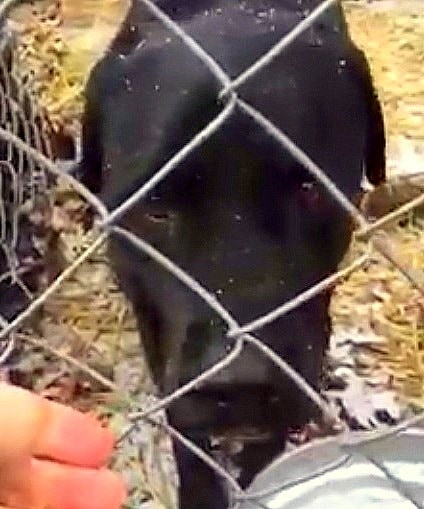 1.9.15 - Black Lab Rescued After Six Years at Outdoor Kennel in New York2