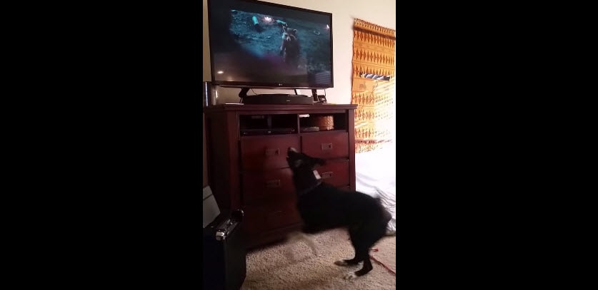 Dog Jumps for Joy When Watching TV
