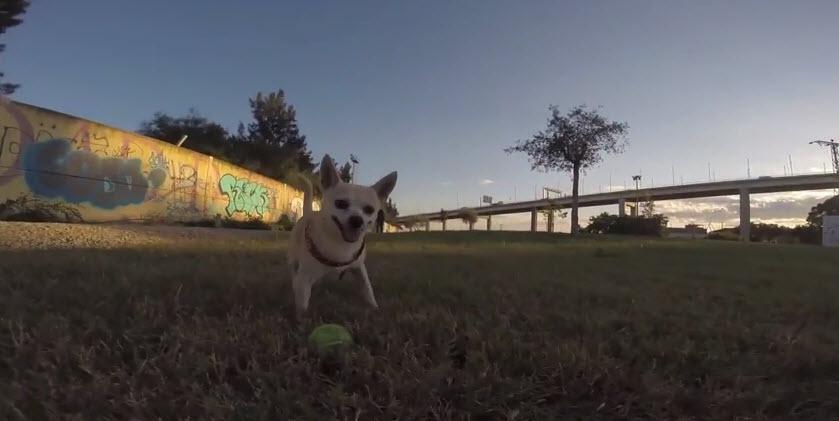 Tiny Dog Enjoys Playing at Dog Park