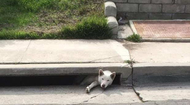 Husky Stuck in Storm Drain Reunited with Owner