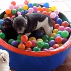 Adorable French Bulldogs in a Ball-Pit