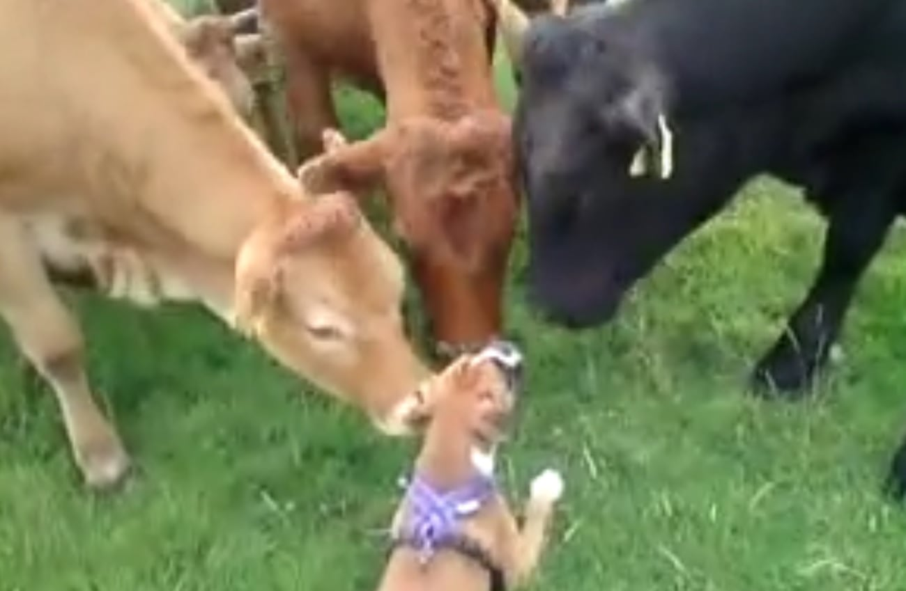 I've Heard of Cowboys, but Cowdogs?