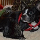 Boston Terrier Adopts Litter of Motherless Kittens