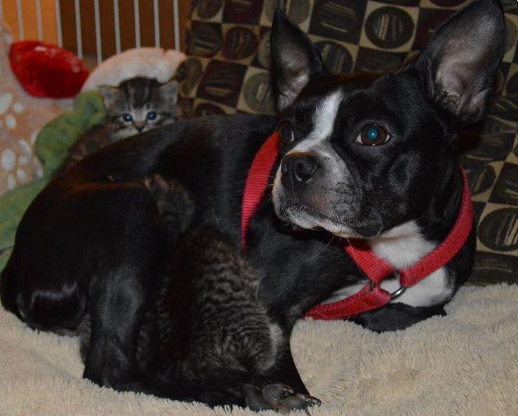 Boston Terrier Adopts Litter of Motherless Kittens