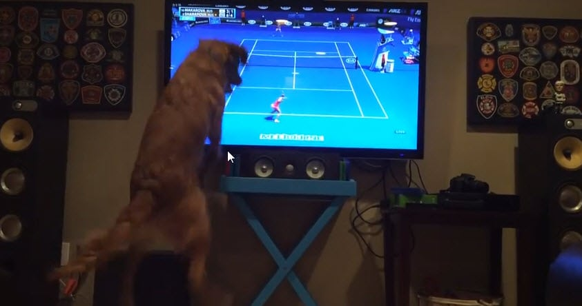 No One Loves Tennis More Than This Dog